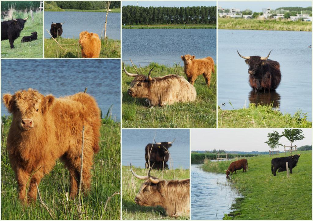 8-Koeien
