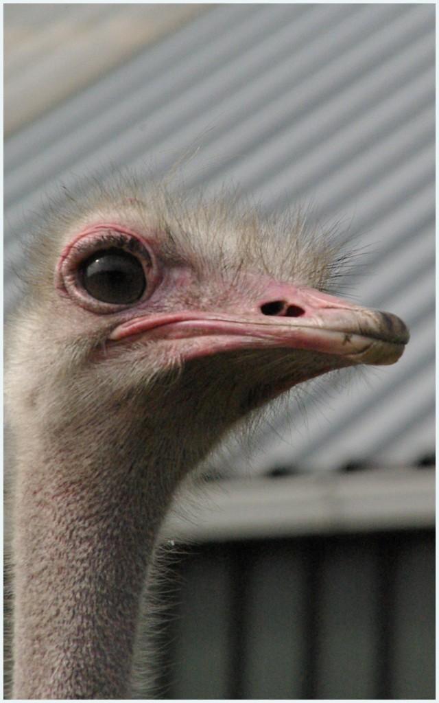 Struisvogel-1